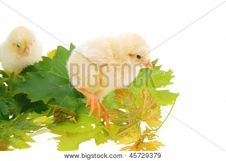 cute live little baby chicken isolated on white background on green leaves