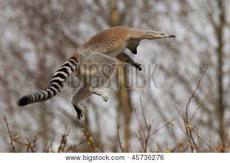 Ring-tailed Lemurs (lemur Catta) Jumping