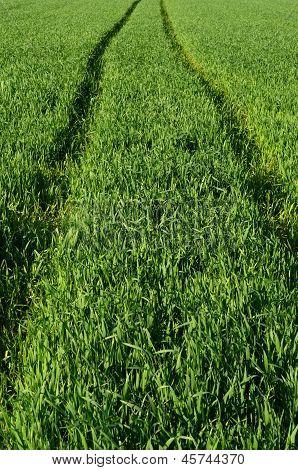 Path Into Crops