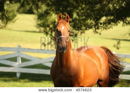 Bright Chestnut Horse In Pasture