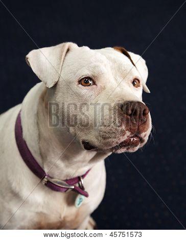 White deaf, blind pitbull head shot