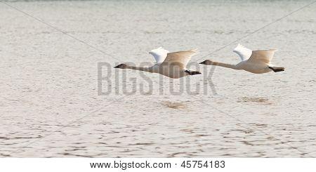 Pair of flying Trumpeter Swans Cygnus buccinator