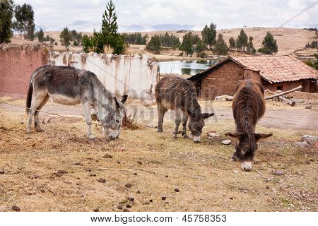 Three Donkeys Above Cusco, Peru