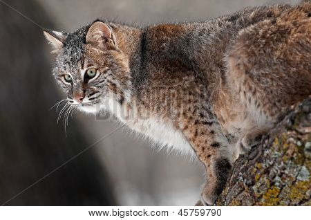 Bobcat (rufus do Lynx) no ramo
