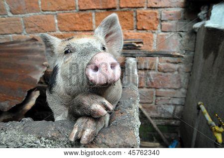 Funny pig