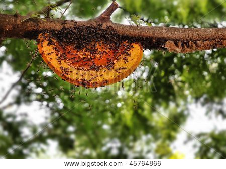 Beautiful Honeybee Hive Being Newly Built By Worker Bees