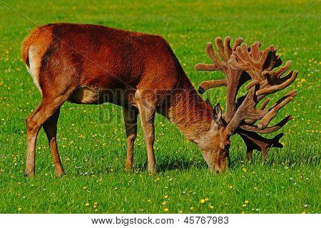 stags in velvet