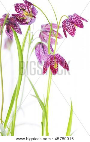Snake's Head Fritillary (Fritillaria meleagris) over white