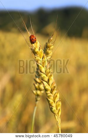 Ladybug And Wheat Ear