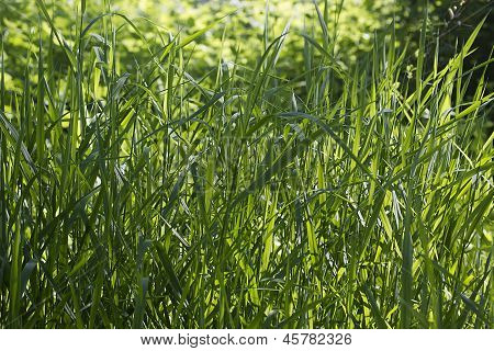 Dense Thickets Of Grass