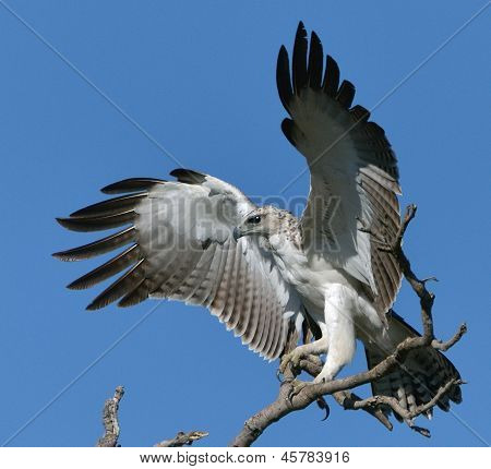 Sub-adult Martial Eagle