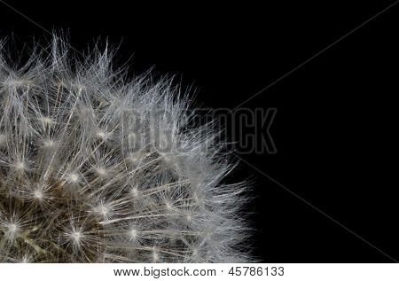 Nature Abstract - Dandelion Filaments