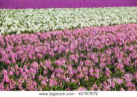 Background Of Many Hyacinthus On Dutch Spring Fields