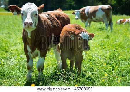 portrait of mother and baby cow