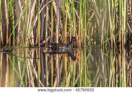 Moorhen ( Gallinula Chloropus)