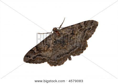 Geometrid Moth Over White