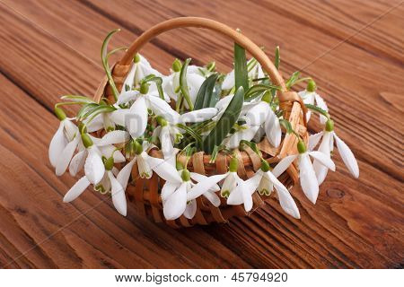 snowdrops in a wicker basket on a table
