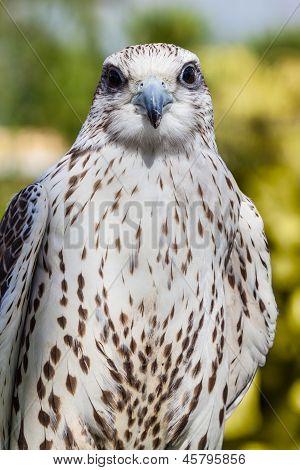 Pretty Hawk