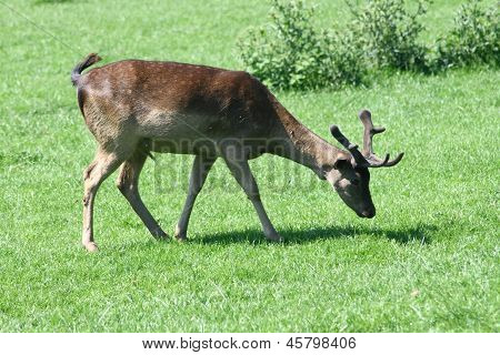 Fallow Deer-bull