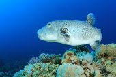 stock photo of biodiversity  - Giant Puffer Fish - JPG