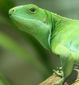 image of godzilla  - green iguana on tree branch - JPG