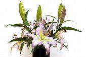 foto of mona lisa  - Taylors Lilium Oriental Hybrid  - JPG