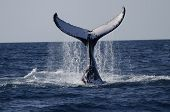 picture of whale-tail  - Pictures was made in Queensland Australia.