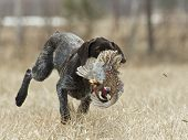 stock photo of ringneck  - A hunting dog retrieving a rooster pheasant - JPG