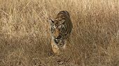 picture of tiger cub  - Tiger cub charging - JPG