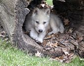 stock photo of hollow log  - Young arctic wolf pup seeks shelter in a hollowed log - JPG