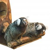 picture of marmosets  - two marmoset on branch isolated over white - JPG