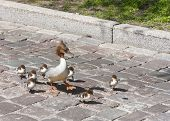 stock photo of great crested grebe  - Family of Great crested grebe lost on a city street in the Old Town of Tallinn Estonia - JPG