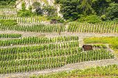 Martigny (switzerland) - Vineyards