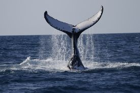 stock photo of whale-tail  - Pictures was made in Queensland Australia.