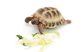stock photo of russian tortoise  - Russian  - JPG
