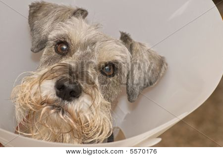 Sick hurt dog in Elizabethan Collar