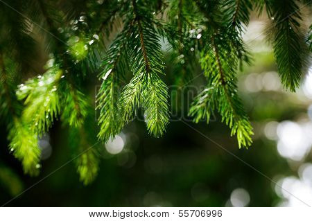 Coniferous tree branch with water drops. Macro shot, shallow dof