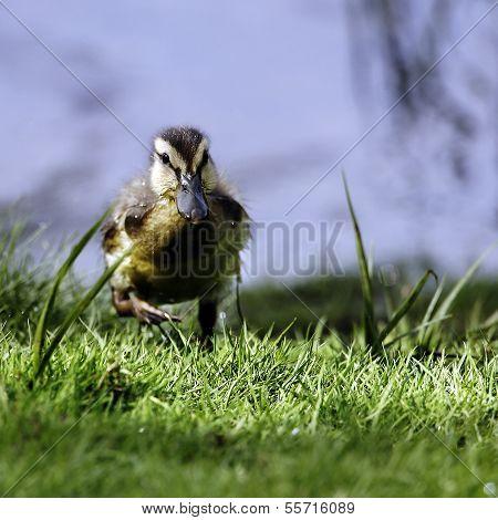 A Mallard Duckling (Anas platyrhynchos) in full flight.