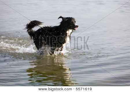 Dog - Running In Water