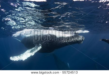 Humpback Whale at the Surface