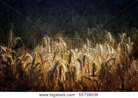 Wheat field in the morning light