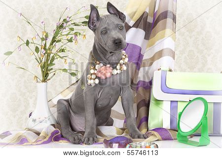 Two Months Old Thai Ridgeback Puppy With Female Accessories