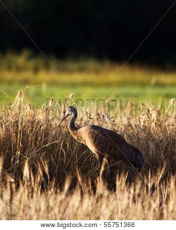 Crane in Field