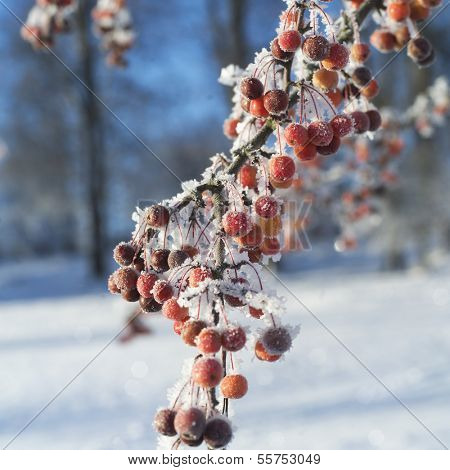 Close up of Rowanberries in winter
