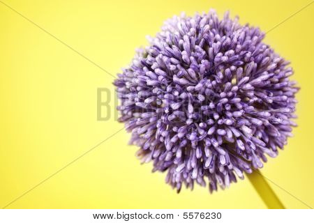 Purple Alium Flower On Yellow Background
