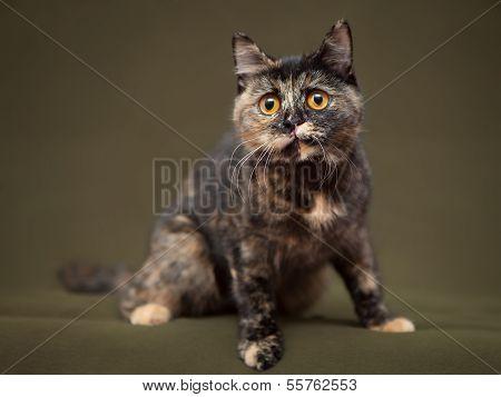 Beautiful tortoiseshell cat with yellow eyes sitting on blanket