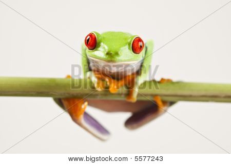 Green frog and white background