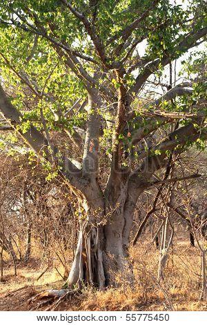 Common Wild Fig Tree (ficus Burkei)