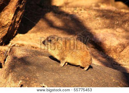 Baby Dassie On Rocks