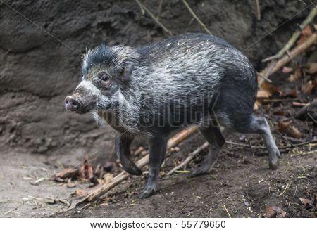 The Visayan Warty Pig, Sus Cebifrons
